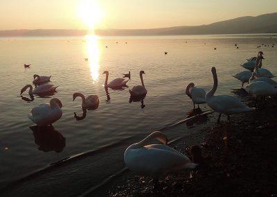 lago-di-bracciano-cigni-al-tramonto